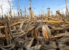 Corn plants weakened by the drought lie on the ground after being knocked over by rain in Bennington...