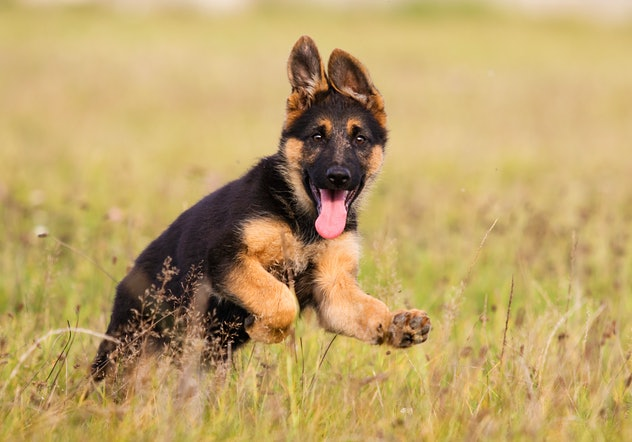 German Shepherd Puppy Runs On The Grass