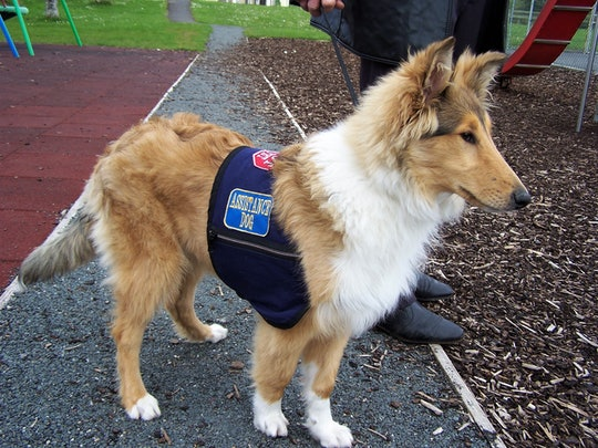 Young collie in training to become an Autism Assistance Dog.