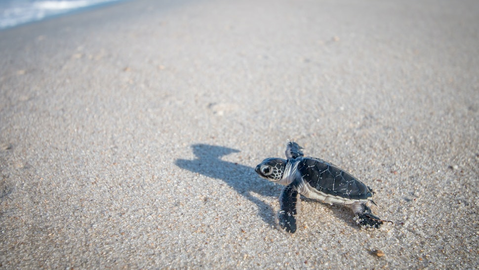 Baby Green sea turtle on the beach on the Swahili coast, Tanzania.