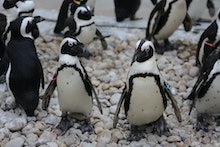 African Penguins are endangered penguins in Southern Africa. Also known by the names of black-footed...