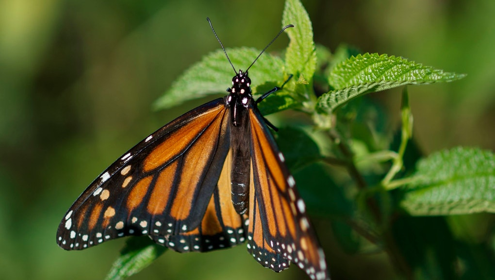 A monarch butterfly rests on a plant at Abbott's Mill Nature Center in Milford, Del., . Farming and other human development have eradicated state-size swaths of its native milkweed habitat, cutting the butterfly's numbers by 90% over the last two decades. It is now under considered for listing under the Endangered Species Act