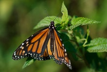 A monarch butterfly rests on a plant at Abbott's Mill Nature Center in Milford, Del., . Farming and ...