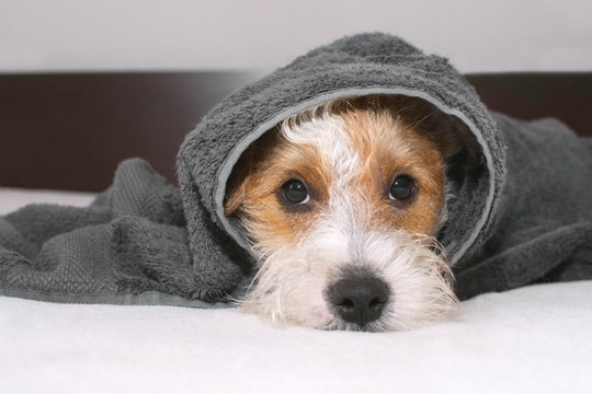 Cute dog is lying on bed after taking bath, covered with grey towel and looking at camera. Pet looks sad and suppressed. Offending puppy hiding under the blanket. Funny domestic animal scene.