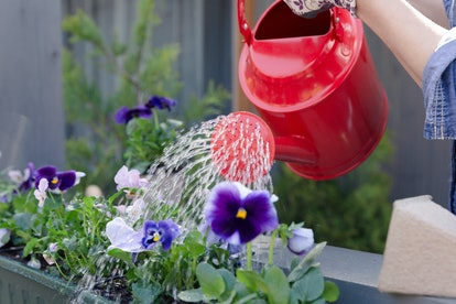 Woman watering pansy flowers on her city balcony garden. Urban gardening concept