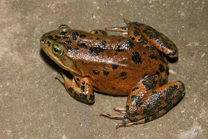 Oregon spotted frog (Rana pretiosa), on sand, Oregon, USA, America
