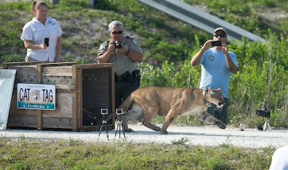 Florida Panther Florida game offiicals film a Florida panther, rescued as a kitten, as it was releas...