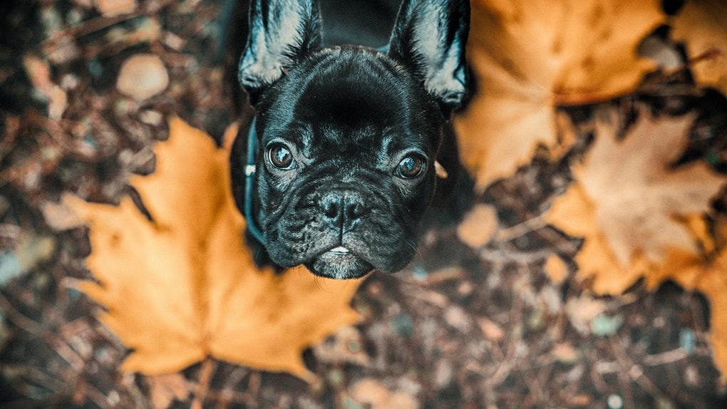 Black French Bulldog Puppy and autumn leaves