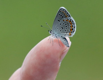Neil Gifford A Karner Blue butterfly rests on the finger of Neil Gifford, conservation director at t...