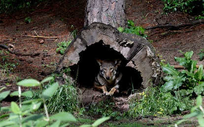 A female red wolf peers from within a tree trunk in its habitat at the Museum of Life and Science in...