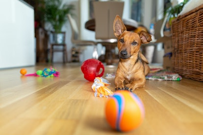 Little dog at home in the living room playing with his toys