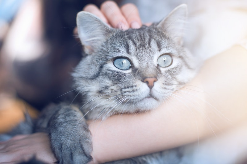 Woman at home holding her lovely  fluffy cat. Gray tabby cute kitten with blue eyes. Pets and lifestyle concept.
