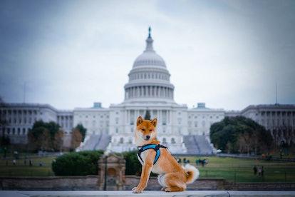 Shiba Inu Capitol Hill