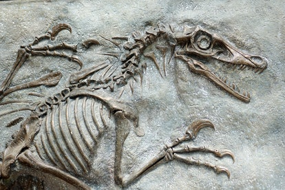 closeup of a replica of fossilized scary petrified Velociraptor dinosaur fossil remains in stone with details of the skeleton with skull and white bones
