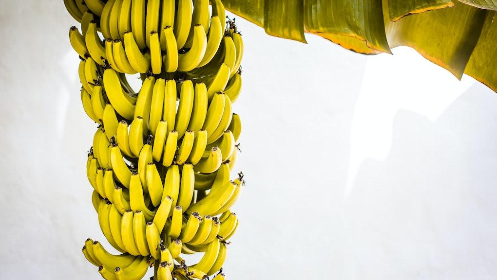 yellow bananas on palm tree