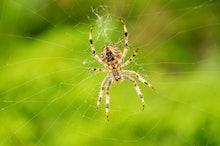 Big spider on his web
