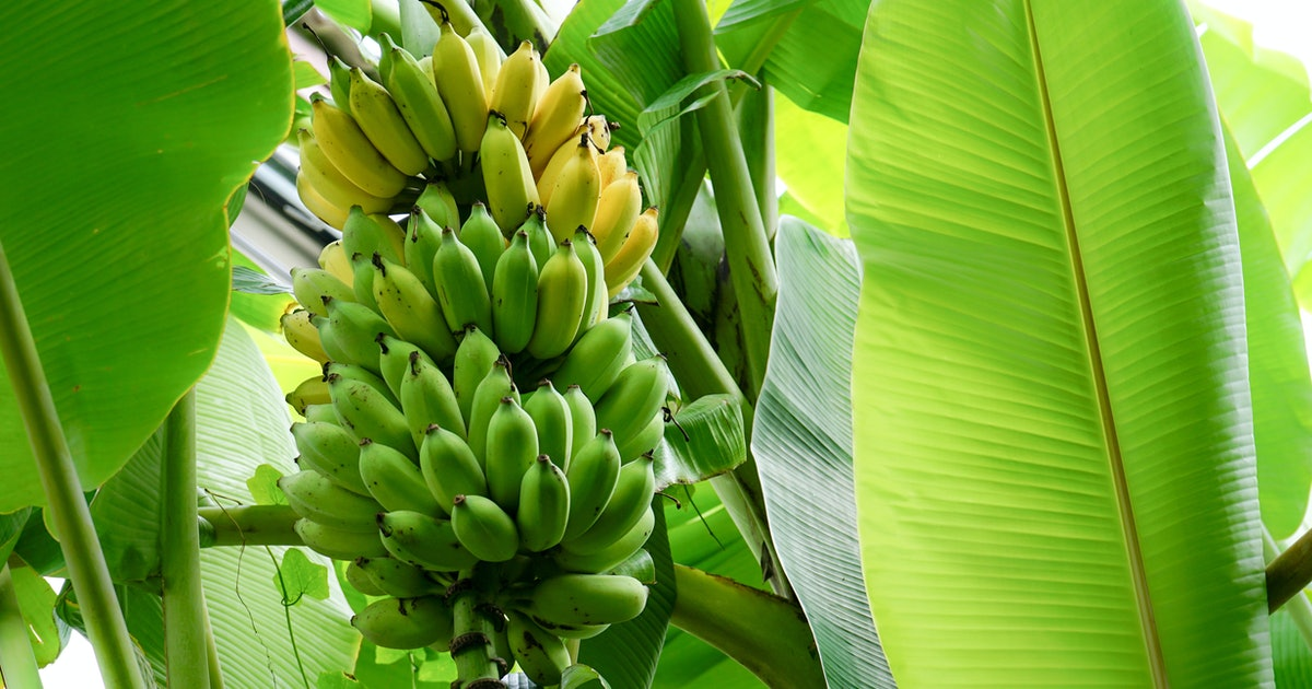Deadly banana fungus threatens to destroy the world's supply