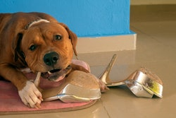 The dog is chewing on shoes