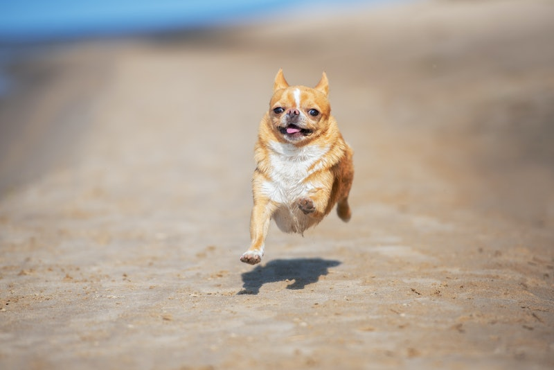 chihuahua dog running on the beach