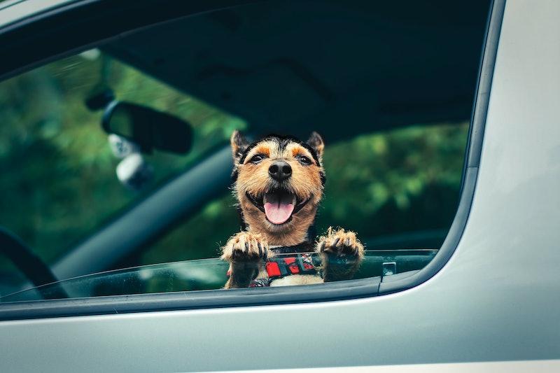 Dog and car