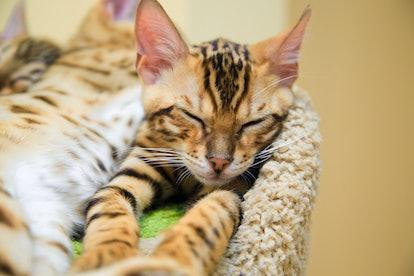 Bengal cat. Leopard cat