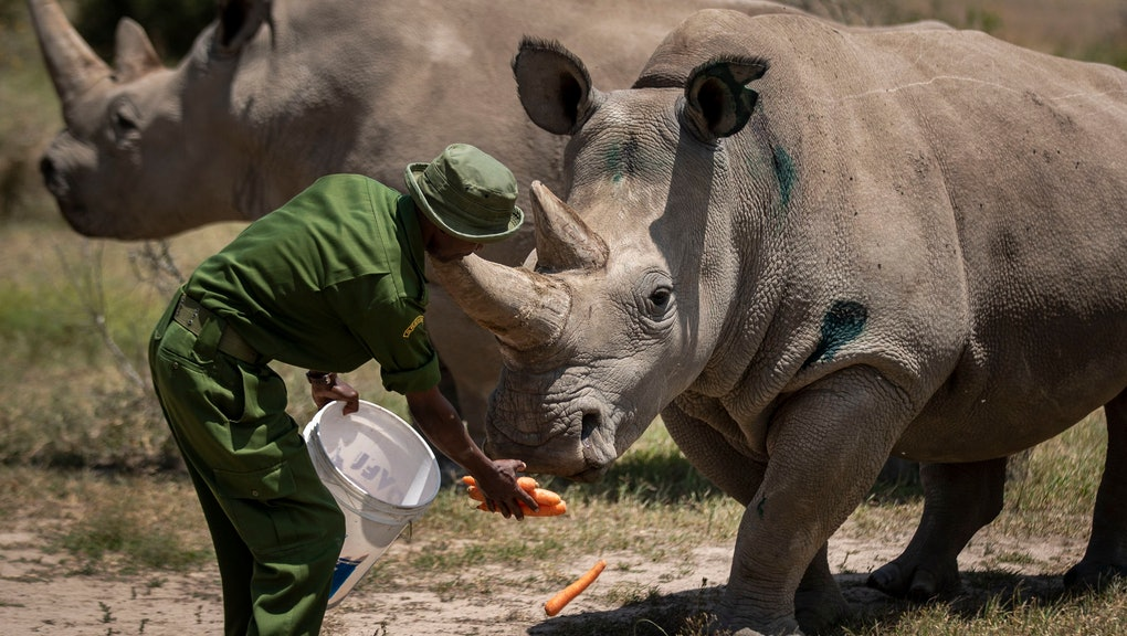 Female northern white rhinos Fatu, 19, right, and Najin, 30, left, the last two northern white rhinos on the planet, are fed some carrots by a ranger in their enclosure at Ol Pejeta Conservancy, Kenya . Wildlife experts and vets say there is hope for the northern white rhino which is on the verge of extinction, after they successfully managed to draw eggs Thursday from the last two of the species, hoping they can be used to reproduce the species through a surrogate