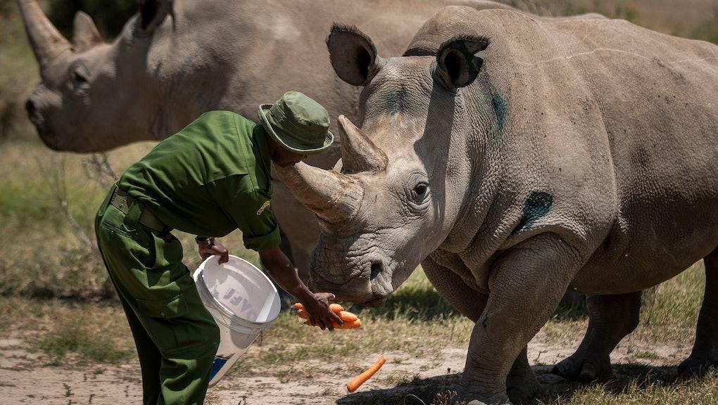 Female northern white rhinos Fatu, 19, right, and Najin, 30, left, the last two northern white rhino...