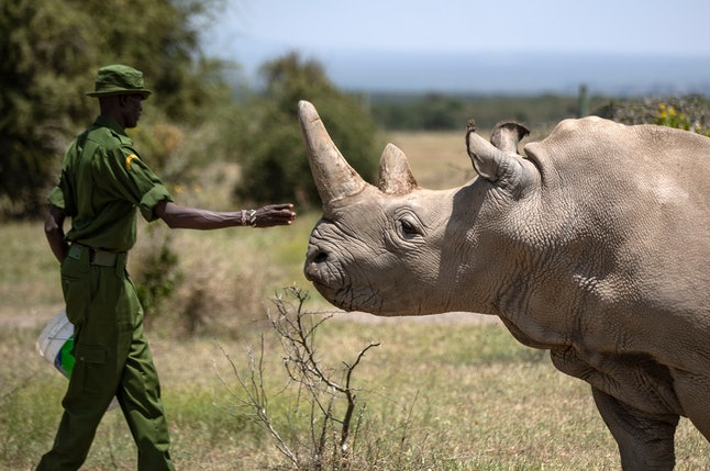 A ranger reaches out towards female northern white rhino Najin, 30, one of the last two northern whi...