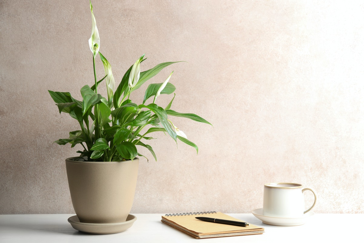 Composition with peace lily, notebook and cup on table against color wall. Space for text