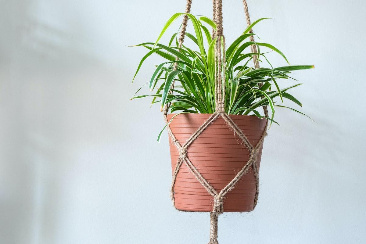 A Jute Twine macrame plant hanger with a Spider Plant (Chlorophytum Comosum) inside of a planter.
