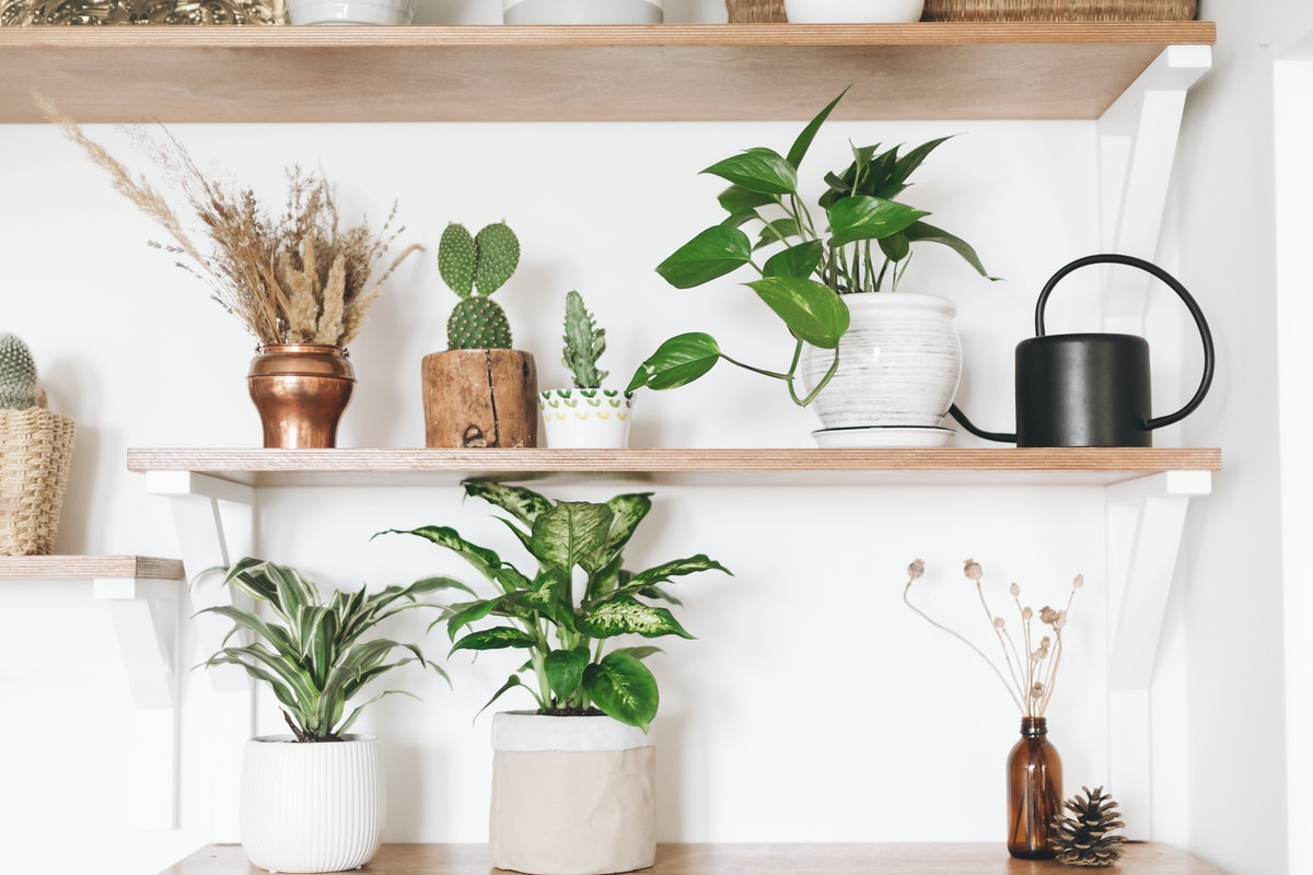 Stylish green plants, black watering can, boho wildflowers on wooden shelves. Modern hipster room de...