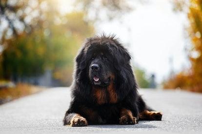 Beautiful Tibetan Mastiff.