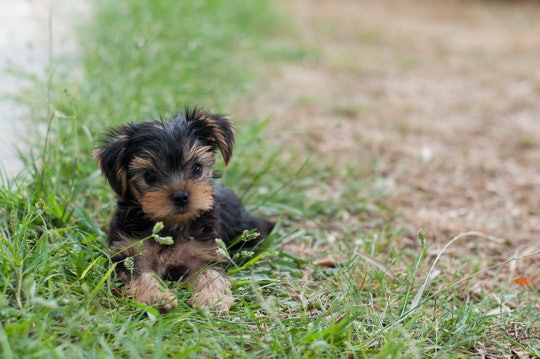 Puppy Yorkie on the grass
