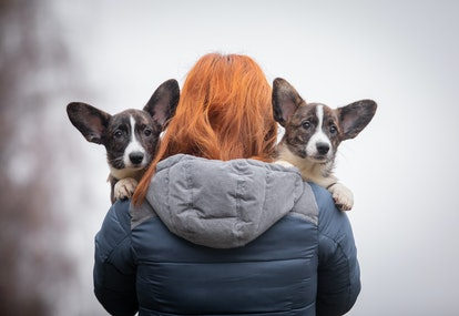 Welsh Corgi walk. Corgi puppy in his arms. Cute and beautiful