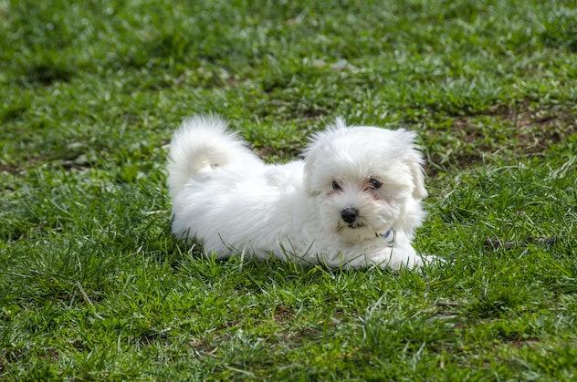 Maltese puppy - Maltese dog breed