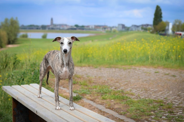 Picture of a whippet dog