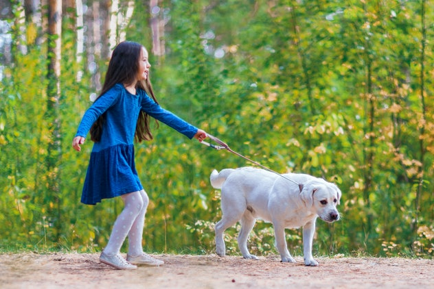 Girl running with a golden retriever in summer park. Child walking with a dog on a leash
