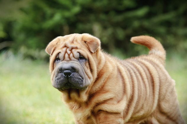 Shar Peis are one of the best low maintenance dog breeds for people who work full time.