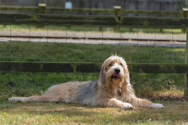 Single Otterhound lying in field in front of a fence