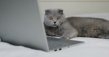 A gray cat is resting on the bed near the laptop. Scottish Fold breed.