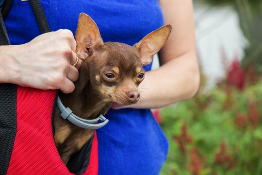 Russian Toy Terrier in a red bag on the shoulder of a girl. The owner with her dog in her arms