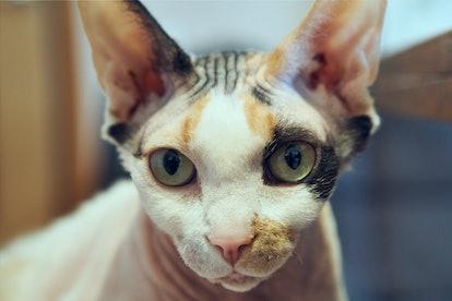 Sphynx cat old cat fat cat