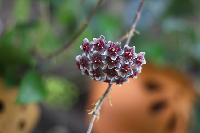Hoya sp. Porcelain Flower or Wax Flower in the dark red color with white rim bloom on the blur background.