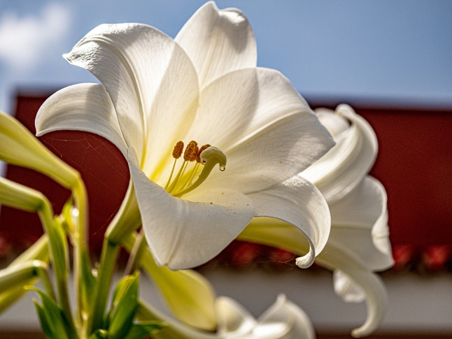 Close up of a great white wedding lily