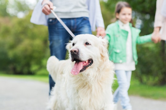family, pet, domestic animal and people concept - close up of family with labrador retriever dog on ...