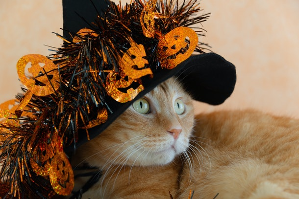 Cute orange tabby in Halloween costume