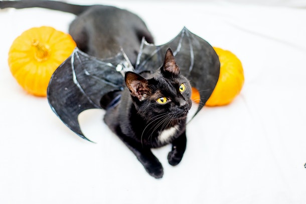 Halloween cat in a costume with pumpkins