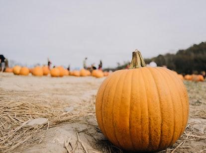 Single Pumpkin in Pumpkin patch