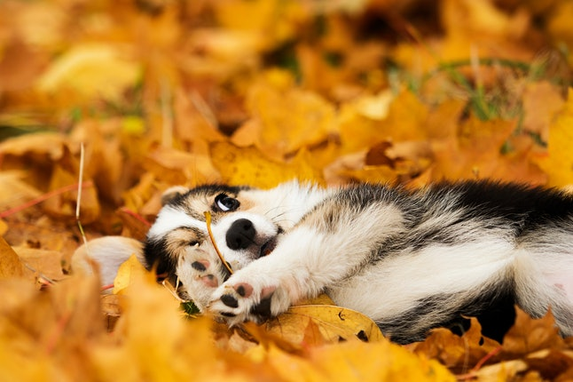 welsh corgi puppy in autumn leaves