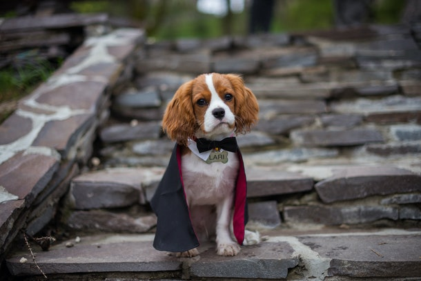 Cute puppy dracula cavalier king charles